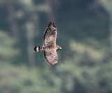 Broad-winged Hawk - Buteo platypterus
