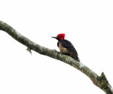 Guayaquil Woodpecker - Campephilus gayaquilensis (male)