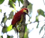 Ecuador Woodpeckers