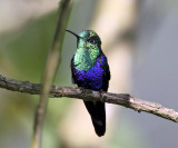 Green-crowned Woodnymph - Thalurania fannyi