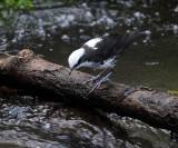 White-capped Dipper - Cinclus leucocephalus