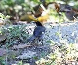White-winged Brush Finch - Atlapetes leucopterus