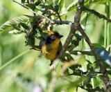 Tricolored Brush-Finch - Atlapetes tricolor