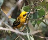 Golden Tanager - Tangara arthus
