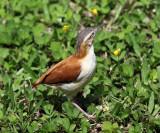 Pacific Hornero - Furnarius cinnamomeus