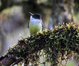 Dusky-capped Flycatcher - Myiarchus tuberculifer