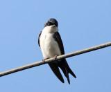 Blue and White Swallow - Notiochelidon cyanoleuca