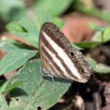 Banded White Ringlet - Pareuptychia ocirrhoe