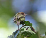 Scale-crested Pygmy Tyrant - Lophotriccus pileatus
