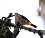 Fawn-breasted Tanager - Pipraeidea melanonota