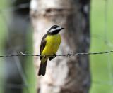 Rusty-margined Flycatcher - Myiozetetes cayanensis