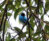 Swallow Tanager - Tersina viridis