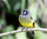 Ornate Flycatcher - Myiotriccus ornatus