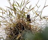 Blue-black Grassquit  -Volatinia jacarina