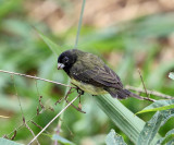 Yellow-bellied Seedeater - Sporophila nigricollis