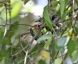 Red-headed Barbet - Eubucco bourcierii