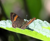 Orange-barred Emesis - Emesis cypria