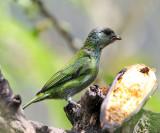 Black-capped Tanager - Tangara heinei (female)
