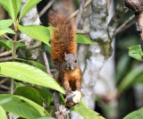 Red-tailed Squirrel - Sciurus granatensis