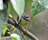 Three-striped Warbler - Basileuterus tristriatus