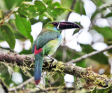Ecuador Toucans