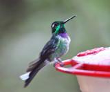 Purple-bibbed Whitetip - Urosticte benjamini