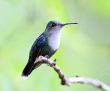 Green-crowned Woodnymph - Thalurania fannyi (female)