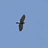 Double-toothed Kite - Harpagus bidentatus