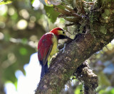 Crimson-mantled Woodpecker - Colaptes rivolii