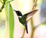 Wedge-billed Hummingbird - Schistes geoffroyi