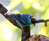 Golden-naped Tanager - Tangara ruficervix