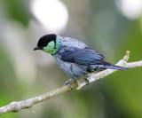 Ecuador Tanagers & Euphonia's