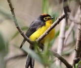 Ecuador Warblers & Vireos