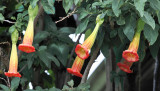 Red Angels Trumpet - Brugmansia sanguinea