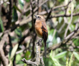 Brown-backed Chat-Tyrant - Ochthoeca fumicolor