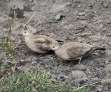 Black-winged Ground Dove - Metriopelia melanoptera
