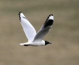 Andean Gull - Chroicocephalus serranus