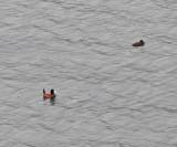 Andean Ruddy Duck - Oxyura ferruginea