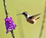 Purple-throated Woodstar - Calliphlox mitchellii