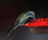 Sparkling Violerear - Colibri coruscans