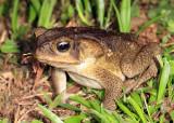 Cane Toad - Rhinella marina