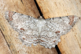 Gray-tipped Lace Moth - Epimecis anonaria
