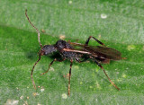 Aphaenogaster araneoides (male)