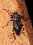 Lobopoda sp.