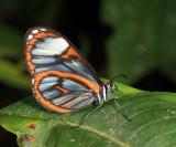 Beautiful Glasswing - Ithomia terra