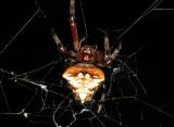 Arrow-shaped Spider - Verrucosa sp.