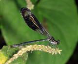 Polythore gigantea (female)