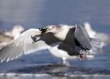 Herring Gull - Larus argentatus (eating a crab)