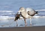 Herring Gull - Larus argentatus (catching a crab tangled in seaweed)