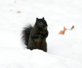 black Eastern Gray Squirrel - Sciurus carolinensis (melanistic)